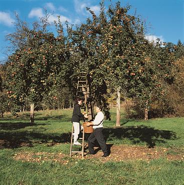 Apfelernte zur Herstellung von Apfelmost, Apfelwein und Apfelbränden / Schnaps