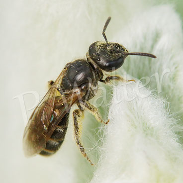 01.06.2015 : Wildbiene auf Woll-Ziest