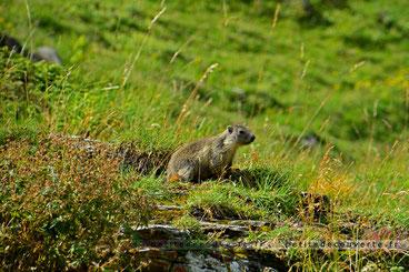 marmotte parc national de la Vanoise