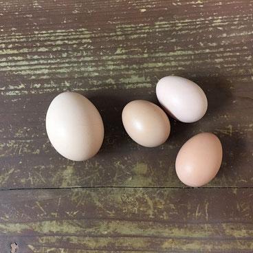 左の大きめの卵は先輩ザッキ―のMサイズ。
