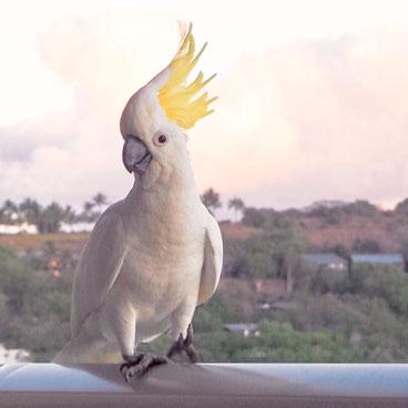 Hamilton Island cockatoo Kakadu