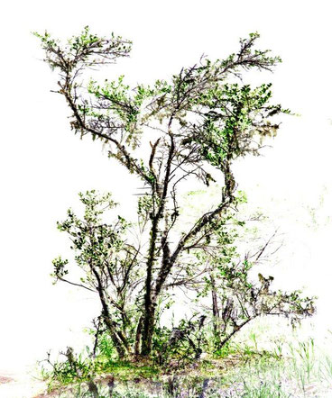 アフリカンツリー太古の森のミスト スパイクソーン