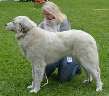 Echo de'Chien Carmen 2 years old in Finnish National Specialty show, excellent 4th in champion class judged by breed specialist Elena Vespa, Italy. Photo Tapani Koivusalo