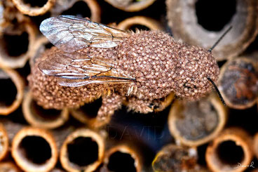 insect nesting aid insect hotel  parasite mite red mason bee
