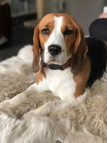 Loulou, Beagle-Hündin
