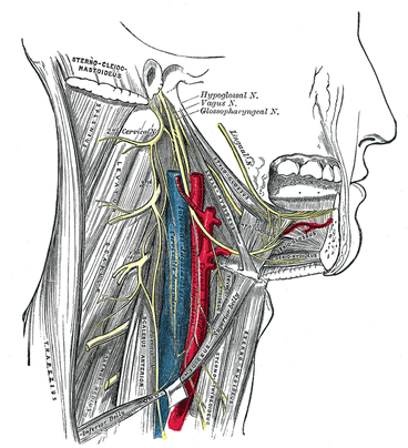 hypoglossal nerve tract