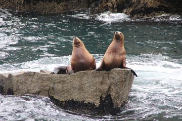 Rencontre avec les lions de mer