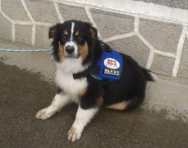 Un chien écouteur des chiens du silence en éducation (Crédit Photo : ACS)