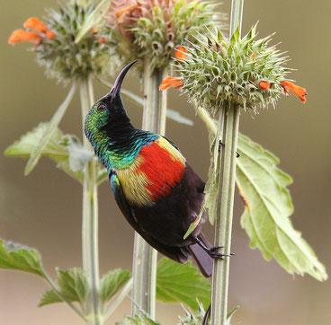 Avifauna del Kenya - Nettarinia multicolore - Beautiful Sunbird - (Cinnyris pulchellus)