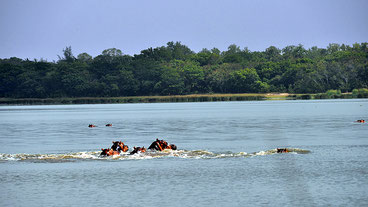Ippopotami nel Lago Kenyatta