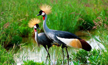 Gru coronata grigia - Grey Crowned Crane - (Balearica regulorum) - Uccelli del Kenya