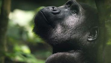 I gorilla rischiano di essere colpiti da Covid-19 (Coronavirus)