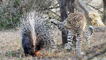 L'Istrice africano e un suo predatore, il leopardo africano