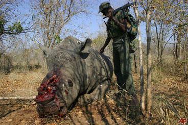 Rinoceronte ucciso per il suo corno in Sud Africa