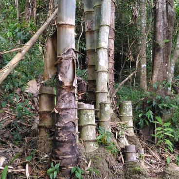 Dendrocalamus giganteus, or Nan (Thailand) giant bamboo.