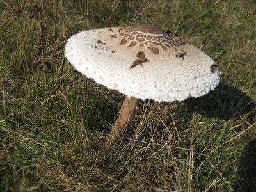 Der leicht erkennbare Parasolpilz kommt in lichten Eichenwäldern mitunter reichlich vor. Er darf bedenkenlos entnommen werden und schmeckt paniert vorzüglich.