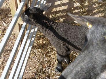 Unser kleines schwarzes Ostfriesisches Milchschaf erlebt die ersten Tage in dieser großen Welt. Was es hier alles wunderbares zu entdecken gibt!