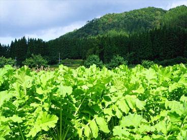 収穫を待つ大根畑 by SLP