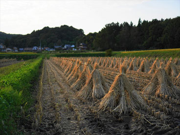 Rice field in Iwate pref. by SLP