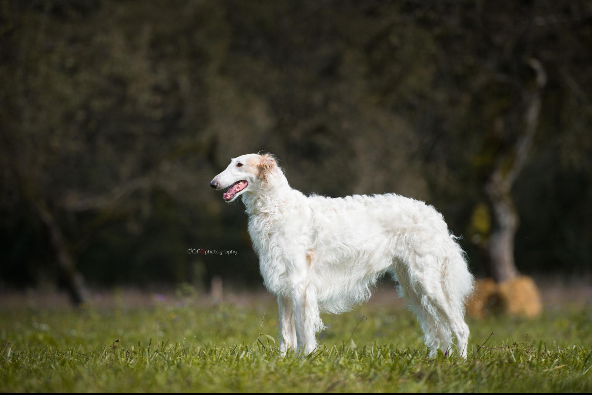 Weiße Barsois aus liebevoller Zucht in Bauler...., Barsois für Hundesport und Show in der Zuchtstätte von Alshamina..., Nadja Koschwitz aus Bauler/Rheinland-Pfalz ist Barsoizüchterin aus Leidenschaft!