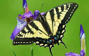 A female Eastern Tiger Swallowtail butterfly (Papilio glaucus) feeding on the flower of a Siberian Iris (Iris sibirica).  www.distanthill.org