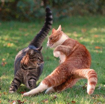 Les chats se transmettent la maladie lors des bagarres, par griffure et morsure.