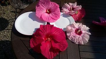 tellergroße+Blüten-erstaunlich große Blüten-pompöse Salatbeilage-fruchtiger-Tee