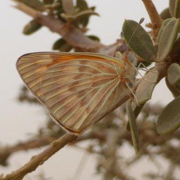 Colotis chrysonome meinertzhageni, mâle au Djebel Deramane ©Annie Garcin