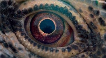 L'oeil reptile