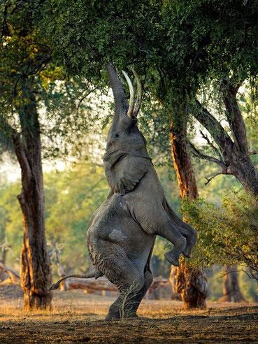 L'ELEPHANT QUI ARRIVE à SE FAIRE GIRAFE. S'IL RETOMBAIT SUR LE CUL ET NON SUR SES PATTES, IL EST FOUTU.