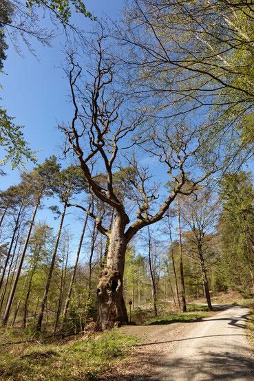 Eulenbaum im Kaufunger Wald