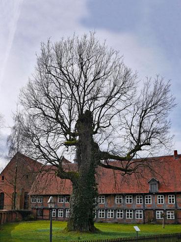 Fabianeiche beim Kloster Wienhausen