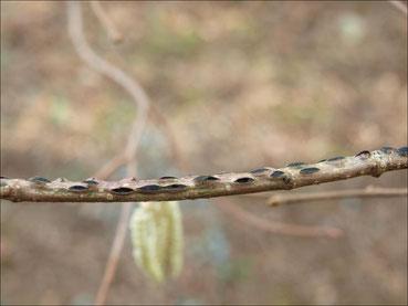 EFB on twig