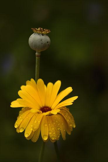 611 Gele bloem met waterdruppels (6254)