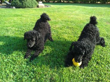 08.08.2014 Luna li. & Abby vom Bungsbergtal re