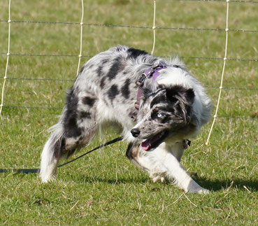 - Azubine-Mantrailer & Therapiehund Bonny -