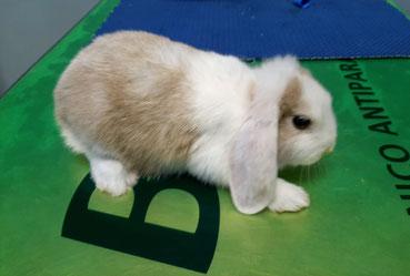 malattia sistema nervoso coniglio nano
