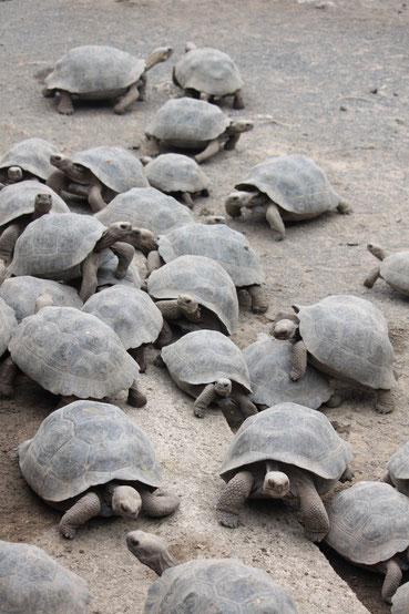 Auf den Galápagos Inseln steht der Schutz der Riesenschildkröten an erster Stelle