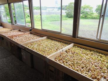 収穫されたほおずきはこの調整所で約一週間追熟されます