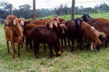 Pecora rossa Masai