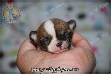Chiot chihuahua miniature : chiot chihuahua à vendre (vendue)