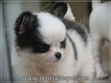 Chiot chihuahua poil long bleu et blanc : chiot chihuahua LOF à vendre (vendue)