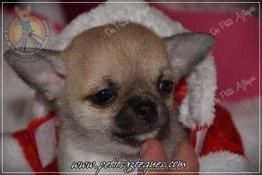 Chihuahua poil court de couleur fauve masque gris