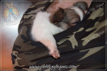 Chihuahua, chiwawa, chiuaua, chioioi, le plus petit chien du monde