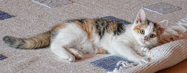 Katze mit Teppich