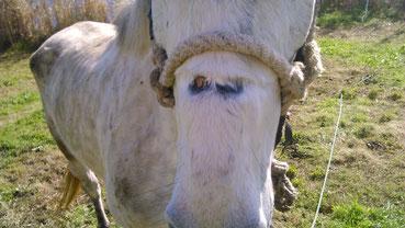 Vom Tragen des groben Seilhalfters und der dauerhaften Anbindehaltung  hat dieses Pferd eine offene Wunde auf der Nase, die nicht behandelt  wird.