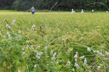 有機農業の米作り ミントの花