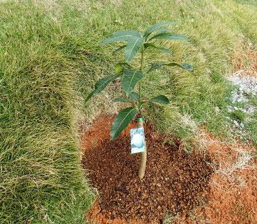 キーツマンゴーの木 66cm ¥3000也