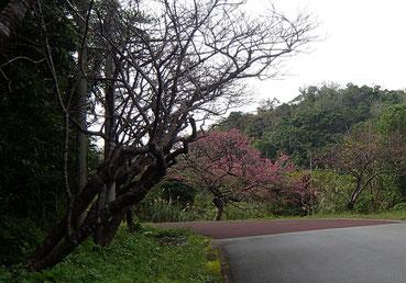 道路沿いに咲く桜