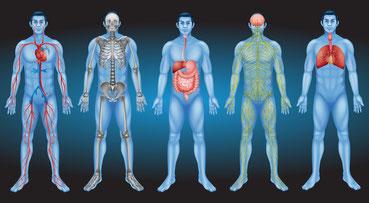 Die Organsysteme